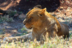 Lioness relaxing in sun Royalty Free Stock Photo
