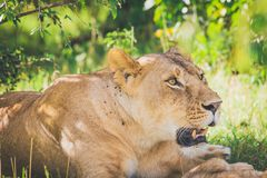 Lioness relaxing under a tree in the bush. Masai mara in Kenya. stock images