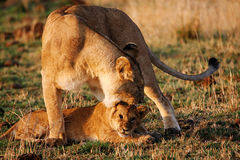 Lioness reproaching cub n.1 Royalty Free Stock Photo