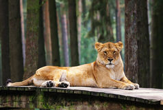 Lioness is on the rest Royalty Free Stock Image