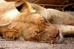 Southern african animals. Lioness at rest in the Chobe National Park Royalty Free Stock Photo