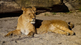 Lioness Rest Royalty Free Stock Image