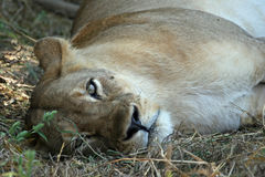 Lioness Resting. A lioness taking a break from the stresses of everyday life in the Luangwa valley, Zambia Royalty Free Stock Photo
