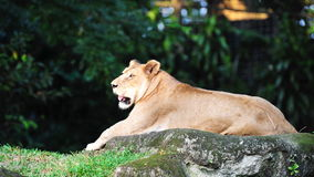 Lioness resting Stock Image
