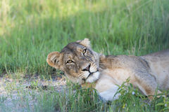 A Lioness resting Stock Image