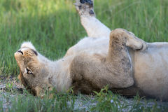 A Lioness resting Stock Photo