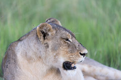 A Lioness resting. In the sun after feeding on a wildebeest. The picture was taken in the Okavango Delta of Botswana Royalty Free Stock Images