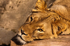 Lioness Resting. In the San Francisco Zoo Stock Photo
