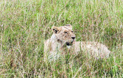 Lioness resting Stock Images