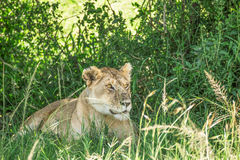 Lioness resting in the bushes in the Maasai Mara national park with lots of flies covering it (Kenya) Stock Photo