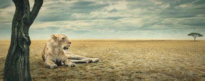 Lioness resting. Lioness enjoying a rest in the shade of a tree on the african plains Royalty Free Stock Photo