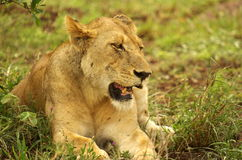 Lioness. Resting on the grass Royalty Free Stock Photography