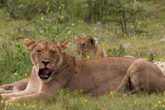 Lioness resting in the grass Royalty Free Stock Photo