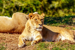 Lioness resting on grass Stock Images