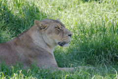Lioness. Resting on the grass at zoo Stock Photography