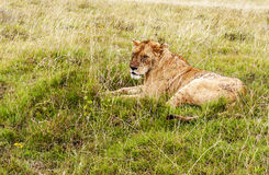 Lioness resting Stock Photography