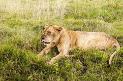 Lioness resting Royalty Free Stock Images