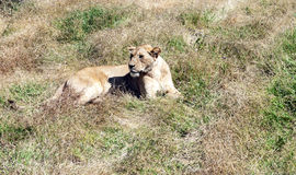 Lioness resting Royalty Free Stock Photos