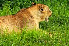 Lioness. Resting in green grass Royalty Free Stock Images