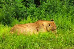 Lioness. Resting in green grass Royalty Free Stock Image
