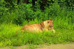 Lioness. Resting in green grass Stock Photography