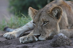 Lioness resting her head Royalty Free Stock Photo