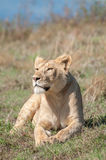 Lioness resting on hill inside Ngorongoro Crater Stock Photo