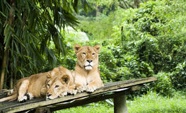 Lioness resting in the jungle. Two lioness in safari indonesia Stock Photos