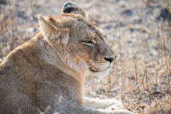 Lioness resting after kill Royalty Free Stock Photo