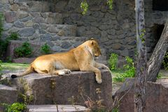 Lioness resting. Lying on a rock. Wild animal stock images