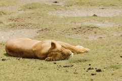 Lioness resting. Scientific name: Panthera leo, or `Simba` in Swaheli image taken on Safari located in the Serengeti/Tarangire, Lake Manyara, Ngorogoro National Royalty Free Stock Photography