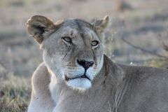 Lioness resting and looking in the afternoon royalty free stock image