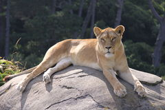 Lioness resting on a rock Royalty Free Stock Images