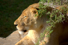 Southern african animals. Lioness resting on a rock ion the Kruger National Park Royalty Free Stock Photo