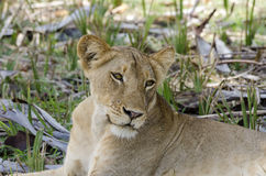 Lioness resting Selous Tanzania Stock Image