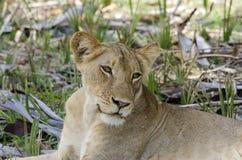 Lioness resting Selous Tanzania Stock Image