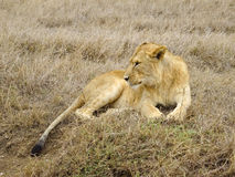 Lioness. Resting in the Serengeti National Park stock photos