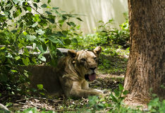 A  Lioness Royalty Free Stock Photo