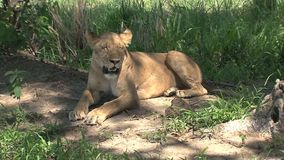 Lioness resting in the shade of a tree stock video