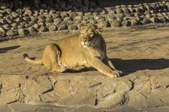 The lioness is resting in the sun. Big cat. Animal. Safari. Wildlife africa. Nature. Zoo. Lioness lying on sand in ambush looking alert for prey royalty free stock image