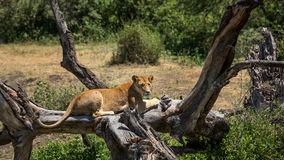 Lioness resting in the sun Stock Photography