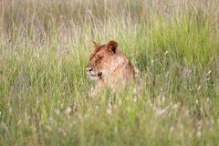 A lioness resting in tha grass at masai mara Stock Photography