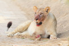 A Lioness resting after a Wildebeest hunt Royalty Free Stock Photos
