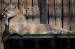 Lioness resting Stock Photo