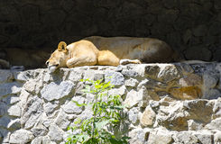 A lioness is resting in Zoo Kiev (Ukraine). Royalty Free Stock Photo