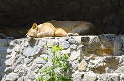 A lioness is resting in Zoo Kiev (Ukraine). A lioness is resting in Zoo Kiev (Ukraine royalty free stock photo