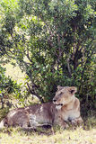 Lioness reting Royalty Free Stock Photos