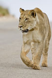 Lioness in the road Royalty Free Stock Image