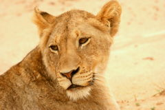 Lioness in road. The lioness was lying in the middle of the road on a dirt road near Satara Rest camp Stock Image