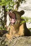 Lioness roaring. When sitting on a rock Stock Photos